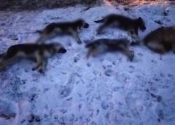 Зоозащитники сообщают о массовой травле собак