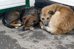 Депутат о 'проблемном' отлове собак: 'Мы рождаем кормушку'