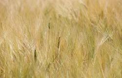 Министр озвучил уточненный прогноз на сбор зерна