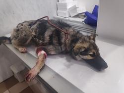 Волонтеры пытаются спасти собаку с огнестрельными ранами