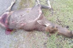 'Калина' сбила на трассе лося. Погибли и водитель, и животное