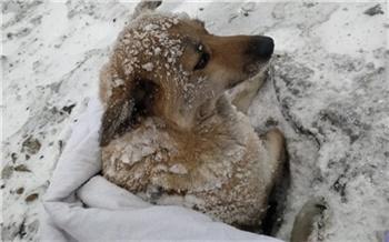 Вмерзла в снег за четыре дня: красноярские волонтеры спасли сбитую поездом собаку
