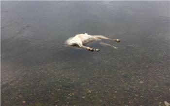 Под Красноярском в Енисее нашли разлагающиеся трупы животных