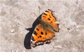 На юге Красноярского края начался массовый лёт у бабочек многоцветниц
