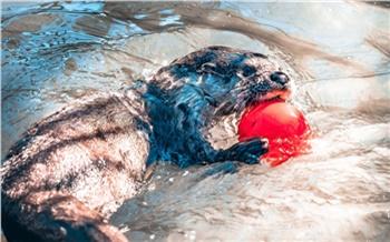 «Уже с маму ростом»: в красноярском зоопарке показали игры подросшего детёныша выдр