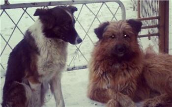 Чиновники из мэрии Кызыла попали под уголовное дело за плохой контроль за отловом бродячих собак