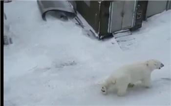 «Местные уже привыкли»: в поселок Диксон снова пришли белые медведи