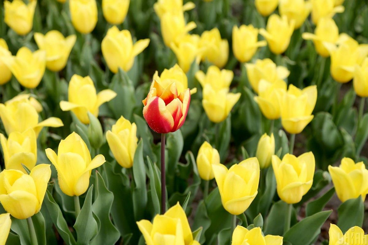 На Певческом поле в Киеве открылась выставка тюльпанов