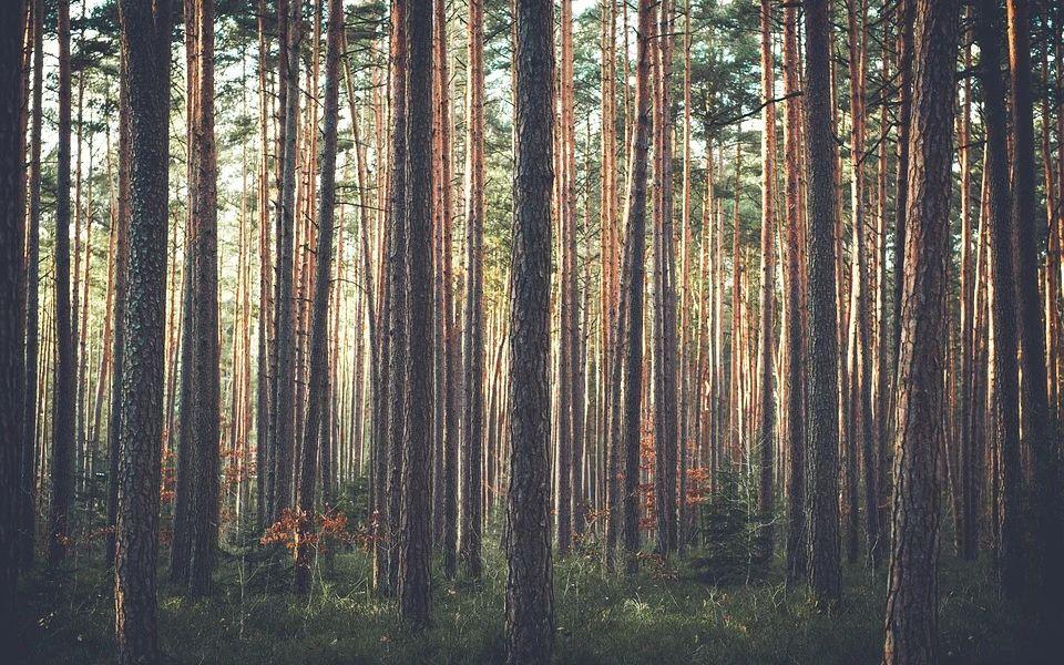 Самое большое дерево будут искать в Алтайском крае