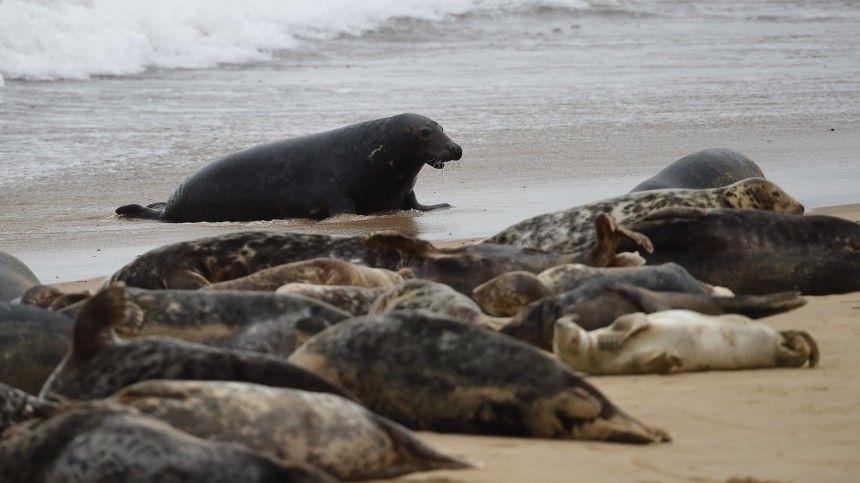 Мировая катастрофа: более 150 мертвых редких тюленей нашли на побережье Каспия