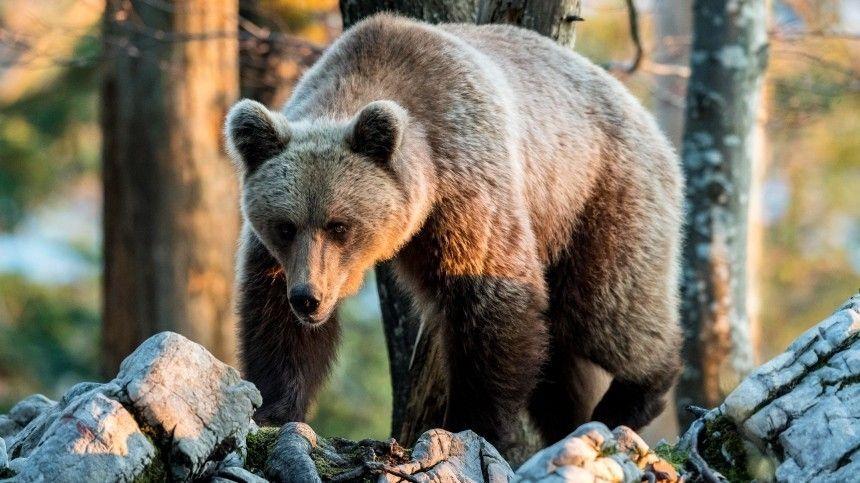 Почему медведи начали «атаковать» российские города и села?