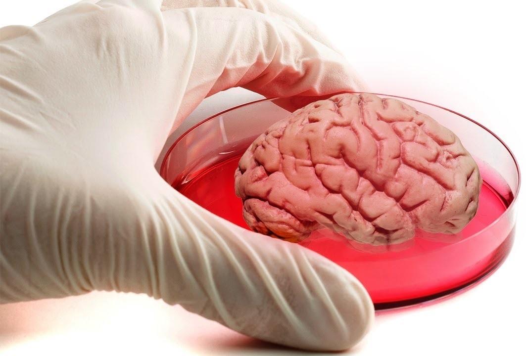 Учёные вырастили живой мини-мозг при помощи 3D-печати