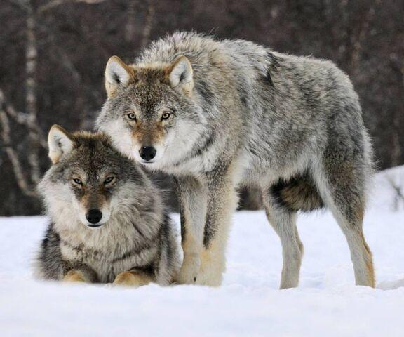 Ученые рассказали, как серым волкам удалось пережить ледниковый период
