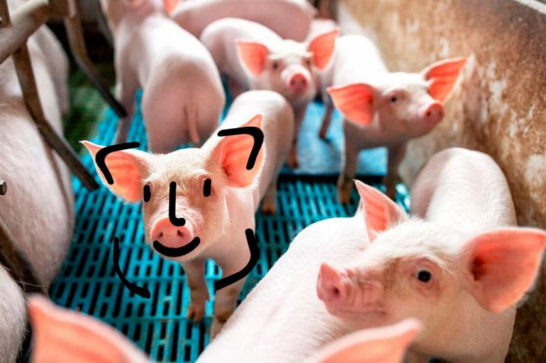 «Какие свиньи, о чём вы?» — Huawei открещивается от свиноводства