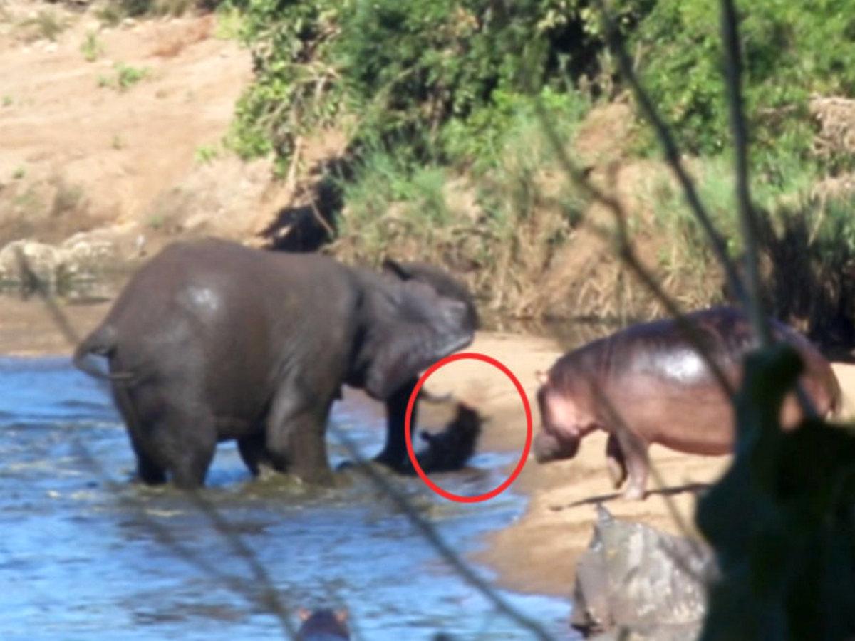 Злого слона, напавшего на детеныша бегемота, сняли на видео