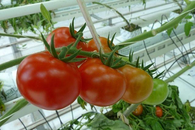 Россельхознадзор может запретить поставки помидоров из Туркменистана