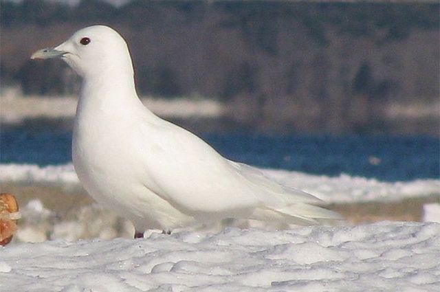 Сохранение редких птиц. «Роснефть» организовала исследование белой чайки