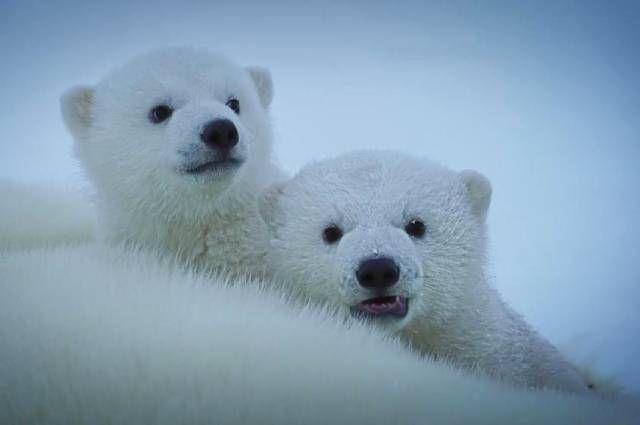 Первая экспедиция года. «Роснефть» изучила белых медведей