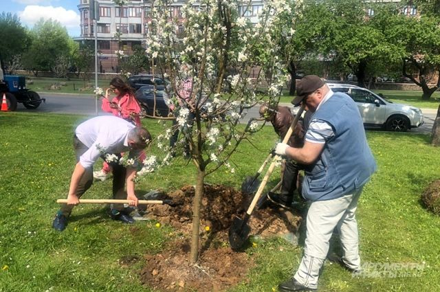 Инициатива жителей. На Мичуринском проспекте высадили 130 саженцев яблонь