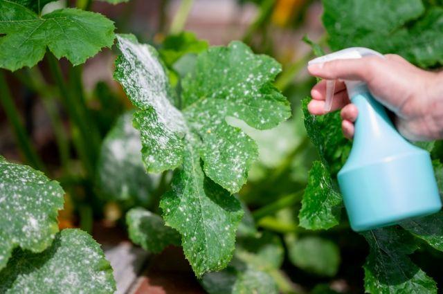 Болезни июня. В начале лета стоит уделить особое внимание овощным культурам