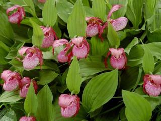 Несколько новых видов орхидей обнаружено в Западной Сибири