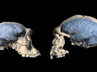 Когда человеческий мозг принял современный вид?