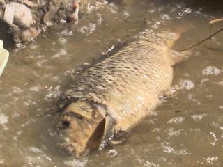 На Урале в Белоярском районе массово гибнет рыба
