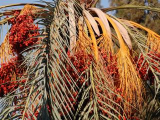 Учёные воскресили древнюю финиковую пальму и расшифровали её геном