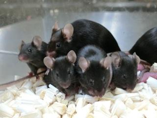 6 лет в космосе не повредили ДНК спермы мышей