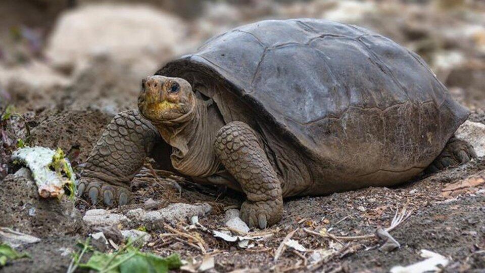Вымершую 100 лет назад гигантскую черепаху нашли живой на Галапагосах