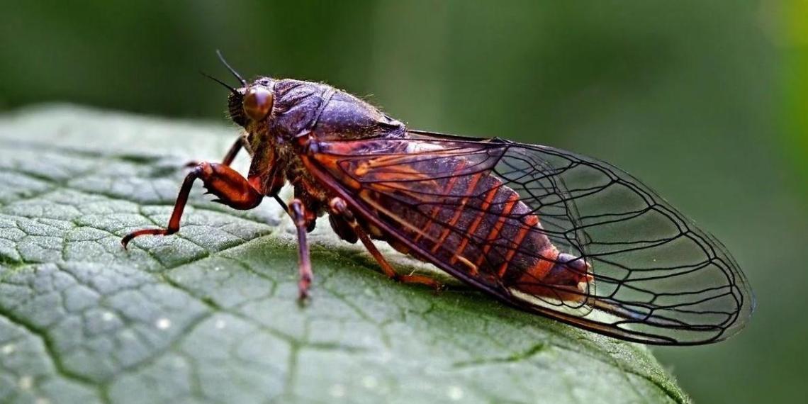 США охватило нашествие миллиардов цикад