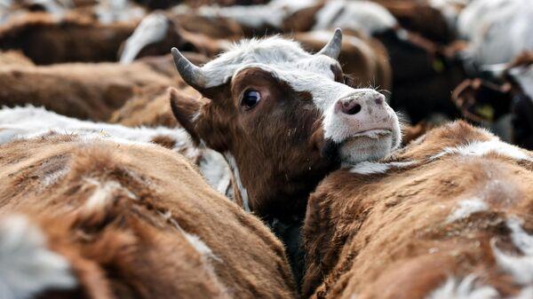 В Тульской области более 70 коров погибли от истощения