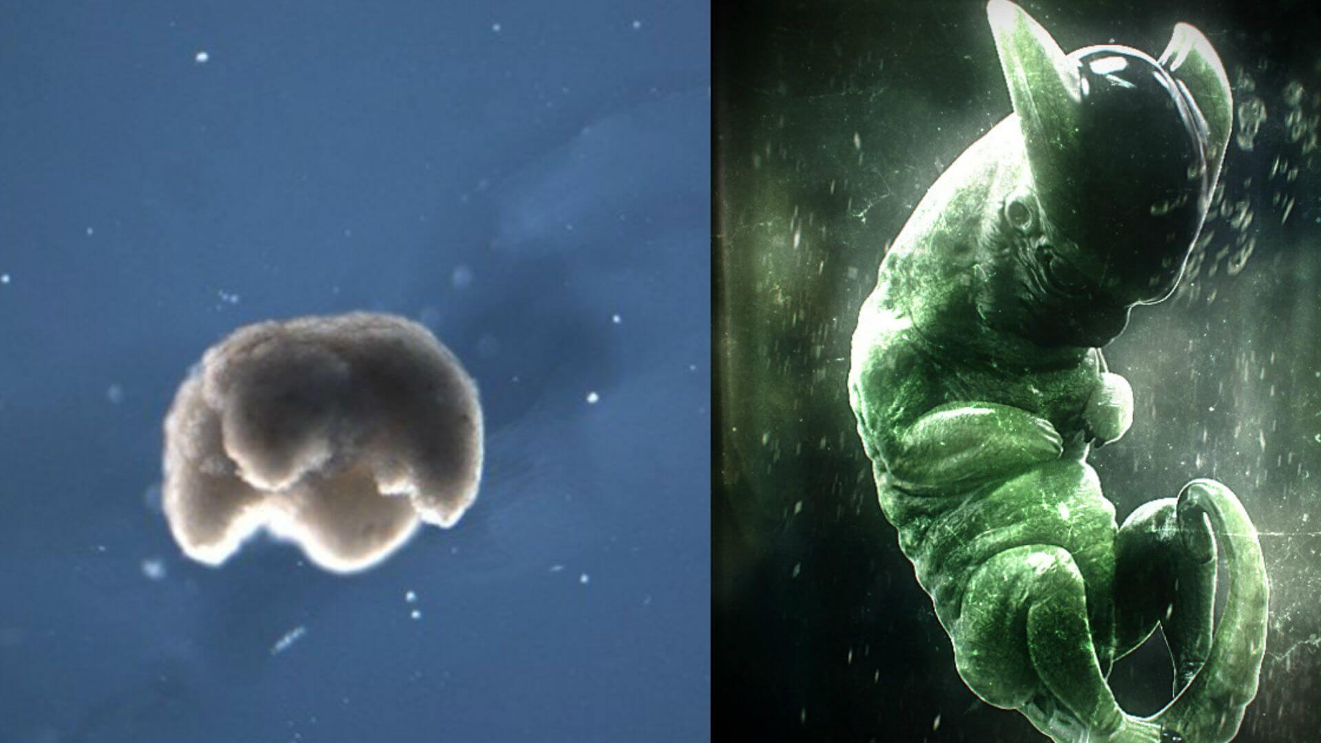 Ученые создали «живых» нанороботов из клеток африканской лягушки