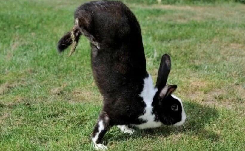 Выведена порода кроликов, которые ходят на передних лапах. Все из-за ошибки ученых