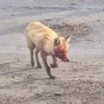 Голодная лиса покусала собак в Ростовской области