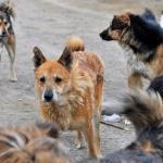 Ставропольцы жалуются на лай бродячих собак