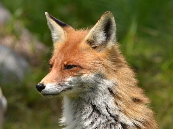 В Саратове ввели карантин из-за бешеной лисы
