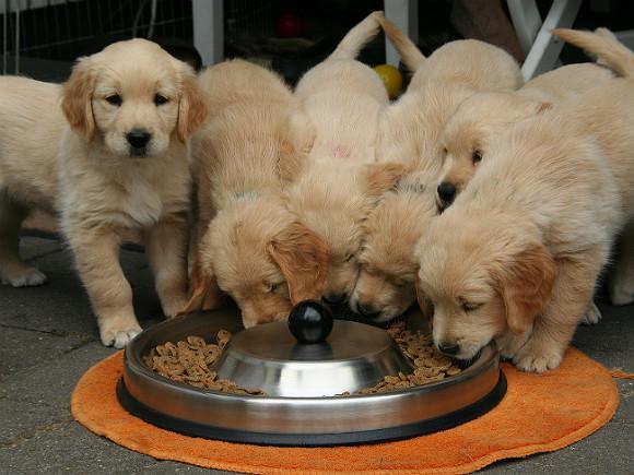 Ученые считают, что собаки рождаются со способностью понимать человека