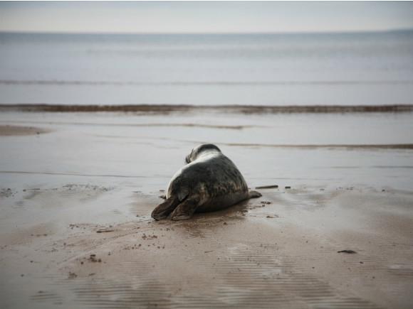 Следственный комитет начал проверку после сообщений о массовой гибели краснокнижных тюленей