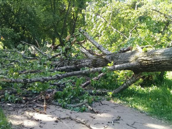 За три грозовых дня в Петербурге ветер повалил более 350 деревьев