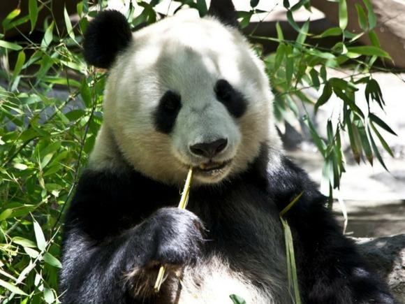 В китайском заповеднике две панды избили друг друга (видео)