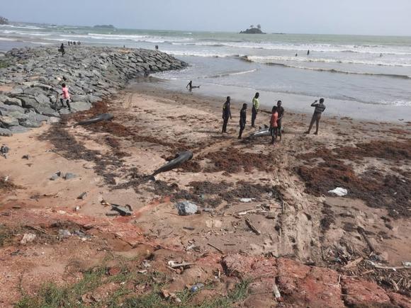 Около 60 дельфинов выбросились на берег в африканской Гане (фото, видео)