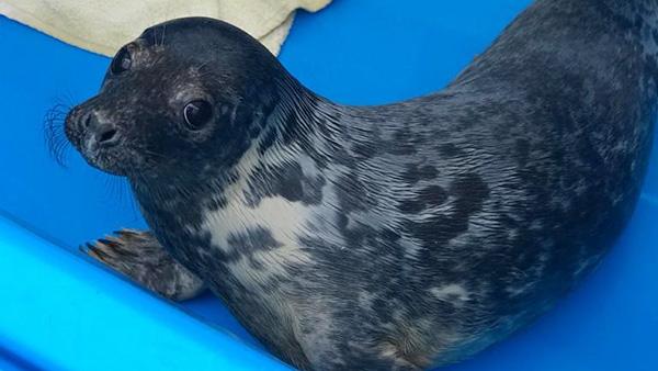 Стало известно о состоянии спасенных в Петербурге тюленят