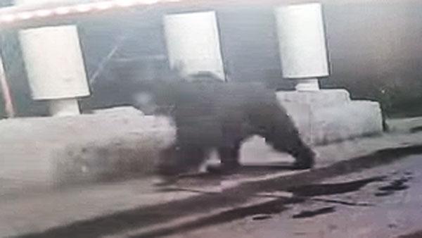 В Мытищах ловят бегающего по улицам бурого медведя