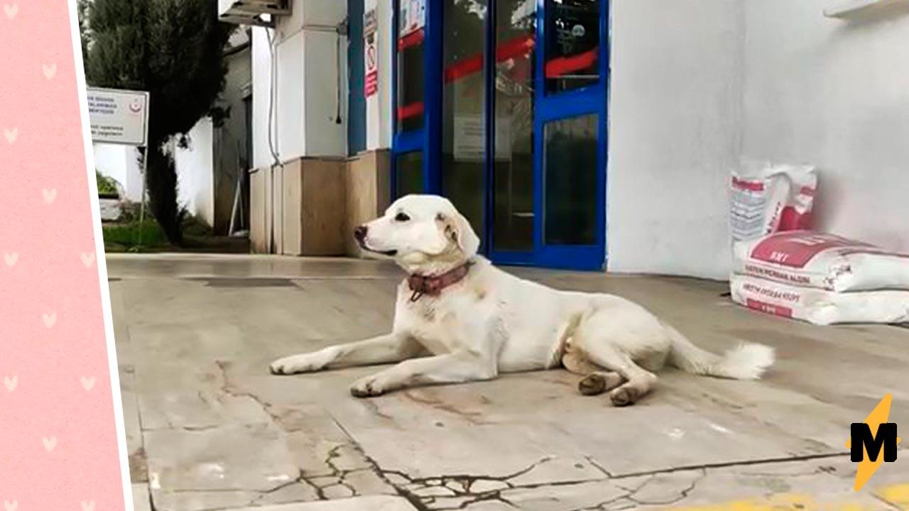 Пёс две недели провёл у входа в больницу, но ждал не еды. Тот, кто ему был нужен, не мог его встретить
