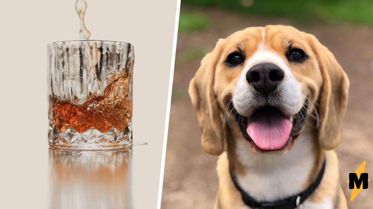 Хозяин завёл пса и узнал, что тот алкоголик. Видели бы вы, какую морду он строит ради виски (и как его пьёт)