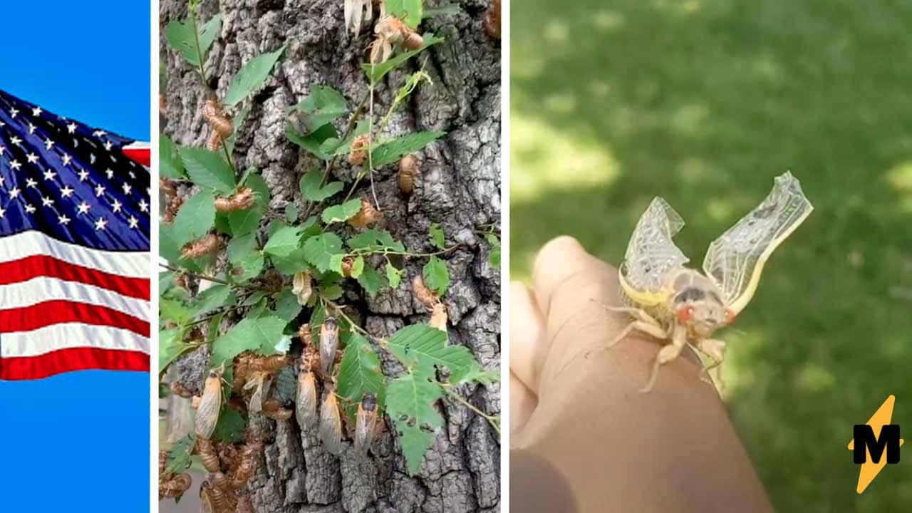 Жители США засняли цикад, выползающих из-под земли раз в 17 лет. Это ад инсектофоба — крылатых триллионы