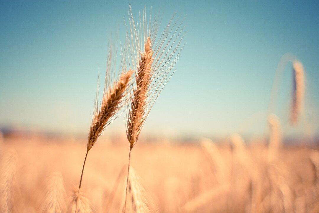 «Закупать пшеницу не готов никто». В России почти остановился экспорт зерна
