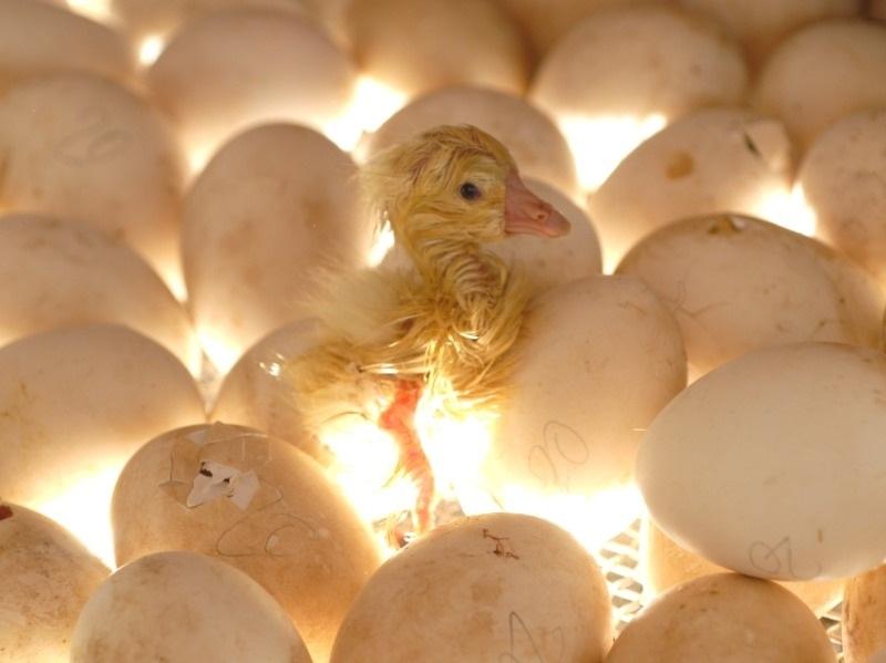 В России из-за подорожания инкубаторных яиц может сократиться выпуск мяса птицы