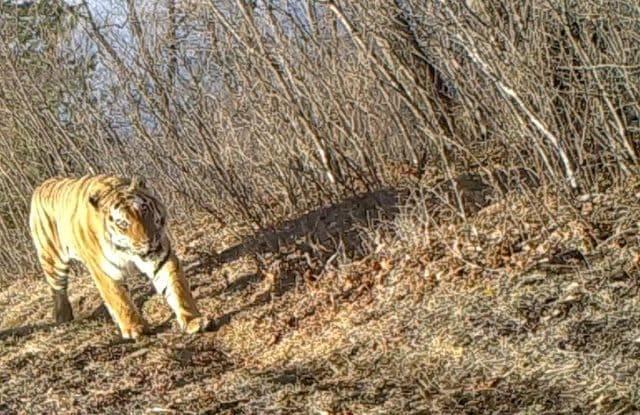 'До мурашек, вот это сила!' Амурский тигр 'наорал' на оленя и попал в объектив фотоловушки